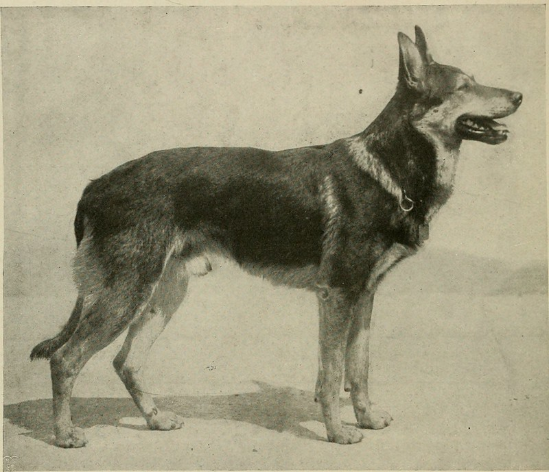 german shepherd history and its origin, breed evolution and facts