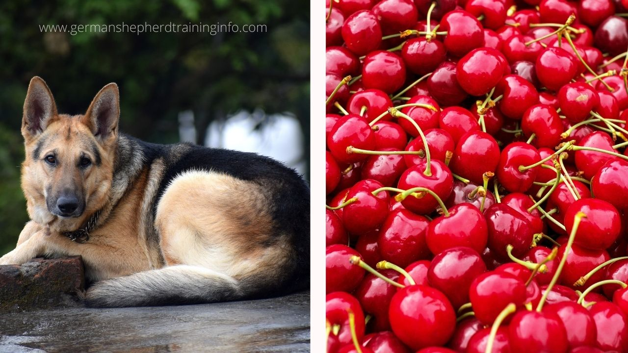 Can german shepherd dogs eat cherries?