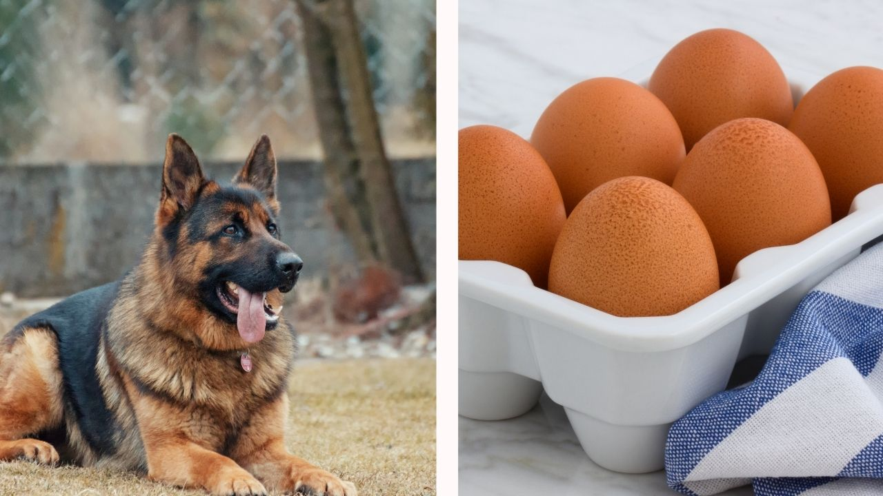Best protein sources for german shepherd dogs
