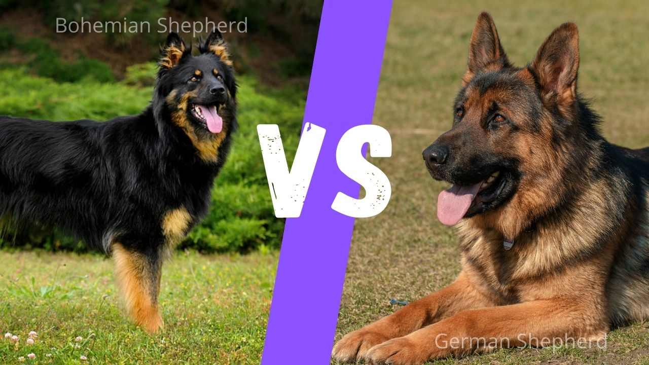 Bohemian Shepherd vs German shepherd : Size comparison, energy, temperament