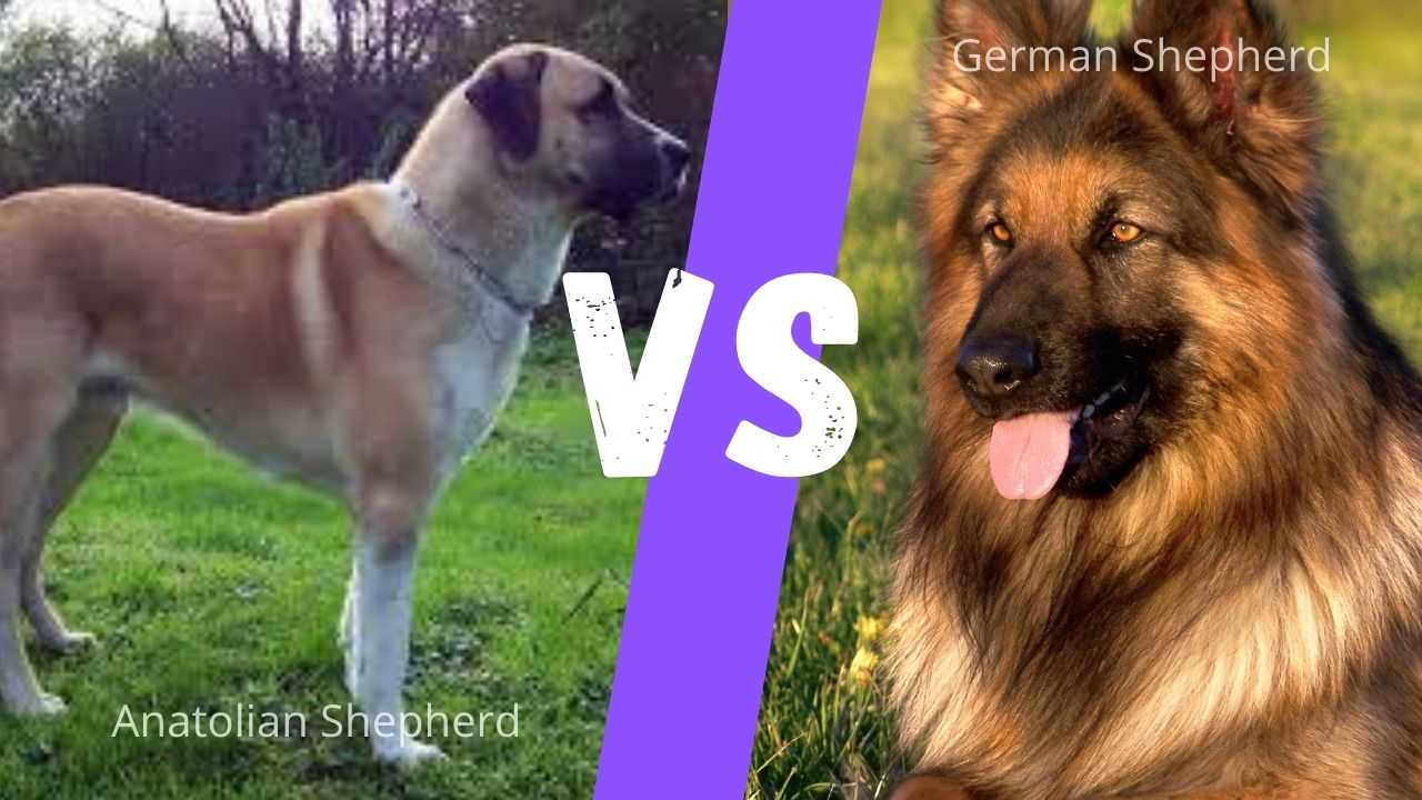 German shepherd vs Anatolian Shepherd: Breed, Size, Coat, Temperament Comparison