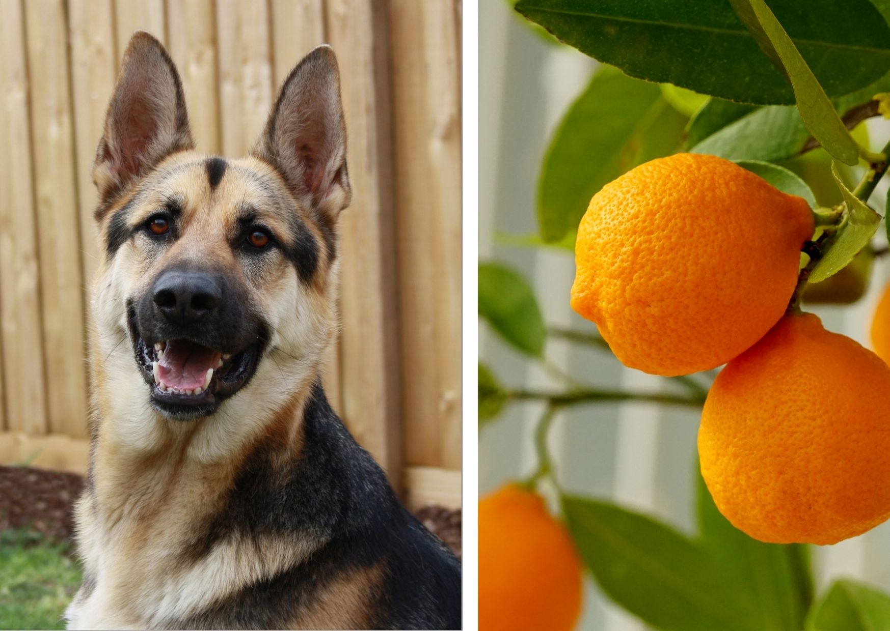Can German shepherd eat oranges?