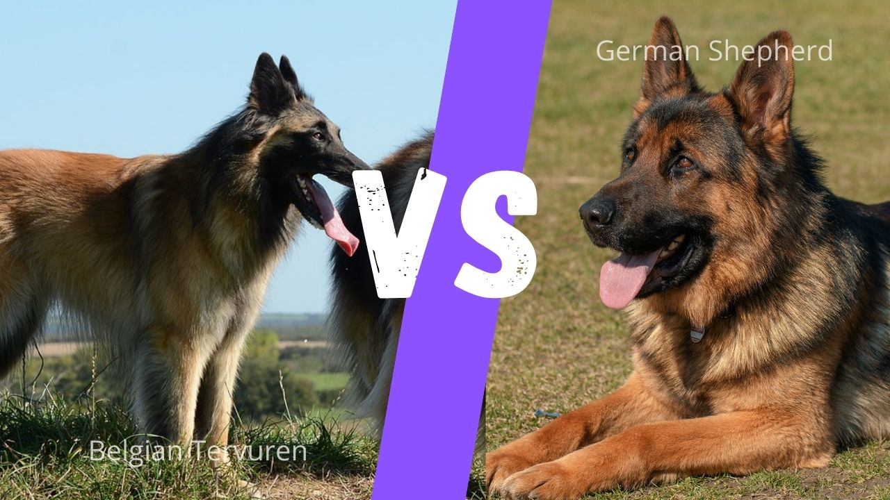 German shepherd vs Belgian Tervuren: Size, Coat, Energy, Strength & Temperament Comparison