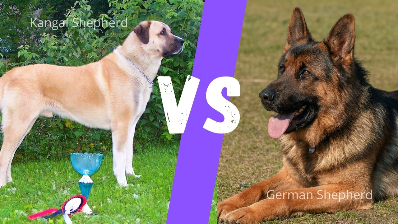 Kangal Vs. German Shepherd: Size Comparison, Temperament, Training Needs, Health & Food Habits