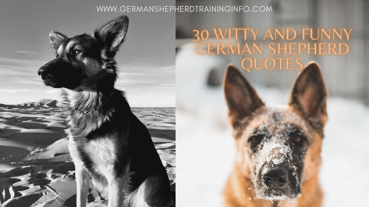 30 Witty and Funny German Shepherd Quotes