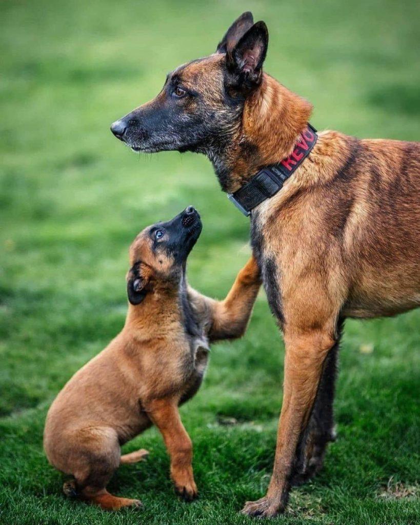 belgian shepherd with puppy