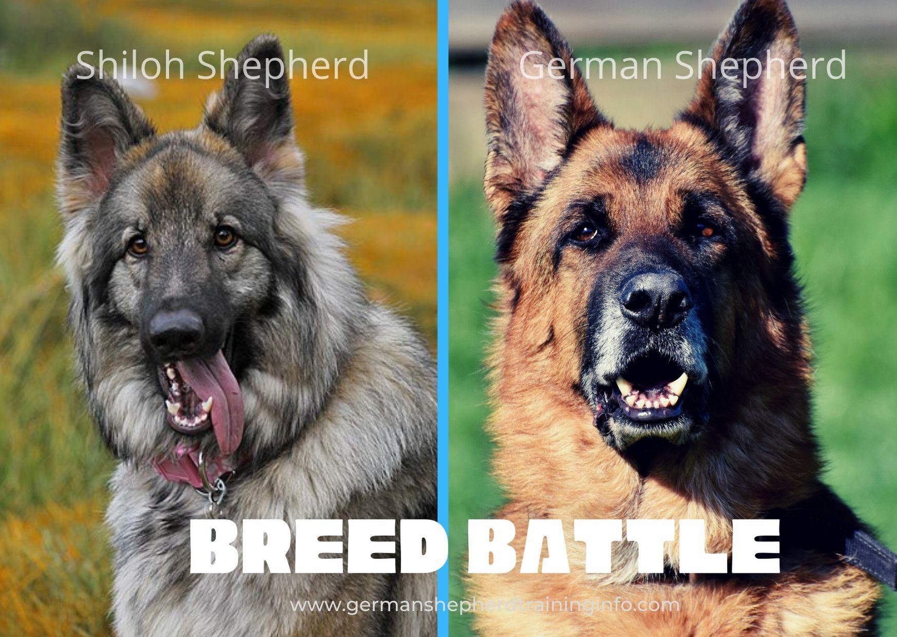 German Shepherd Vs Shiloh Shepherd : Size, Temperament, Coat, Energy, Comparison Guide