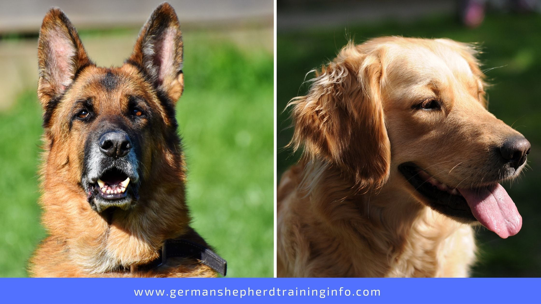Everything you need to know about Golden German Shepherd - 'THE GOLDEN SHEPHERD'