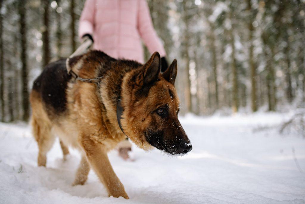 german shepherd body