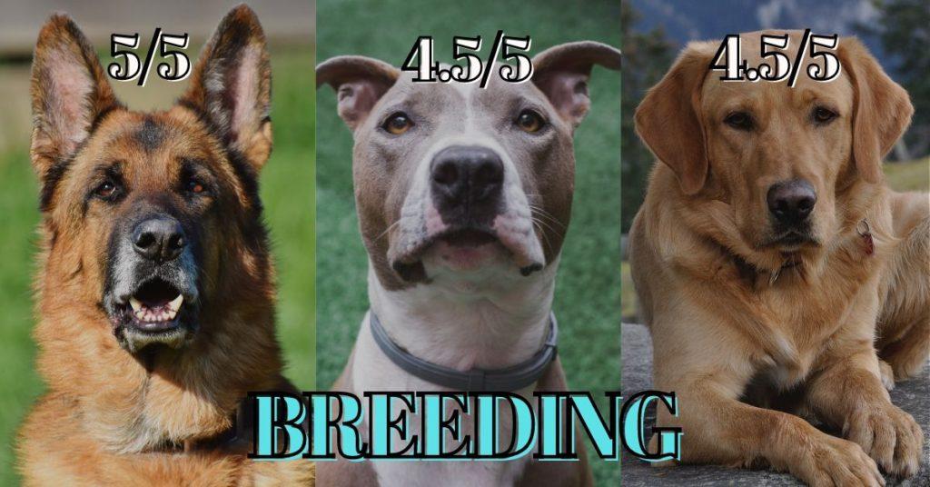 German shepherd vs Pitbull vs Labrador - Breeding