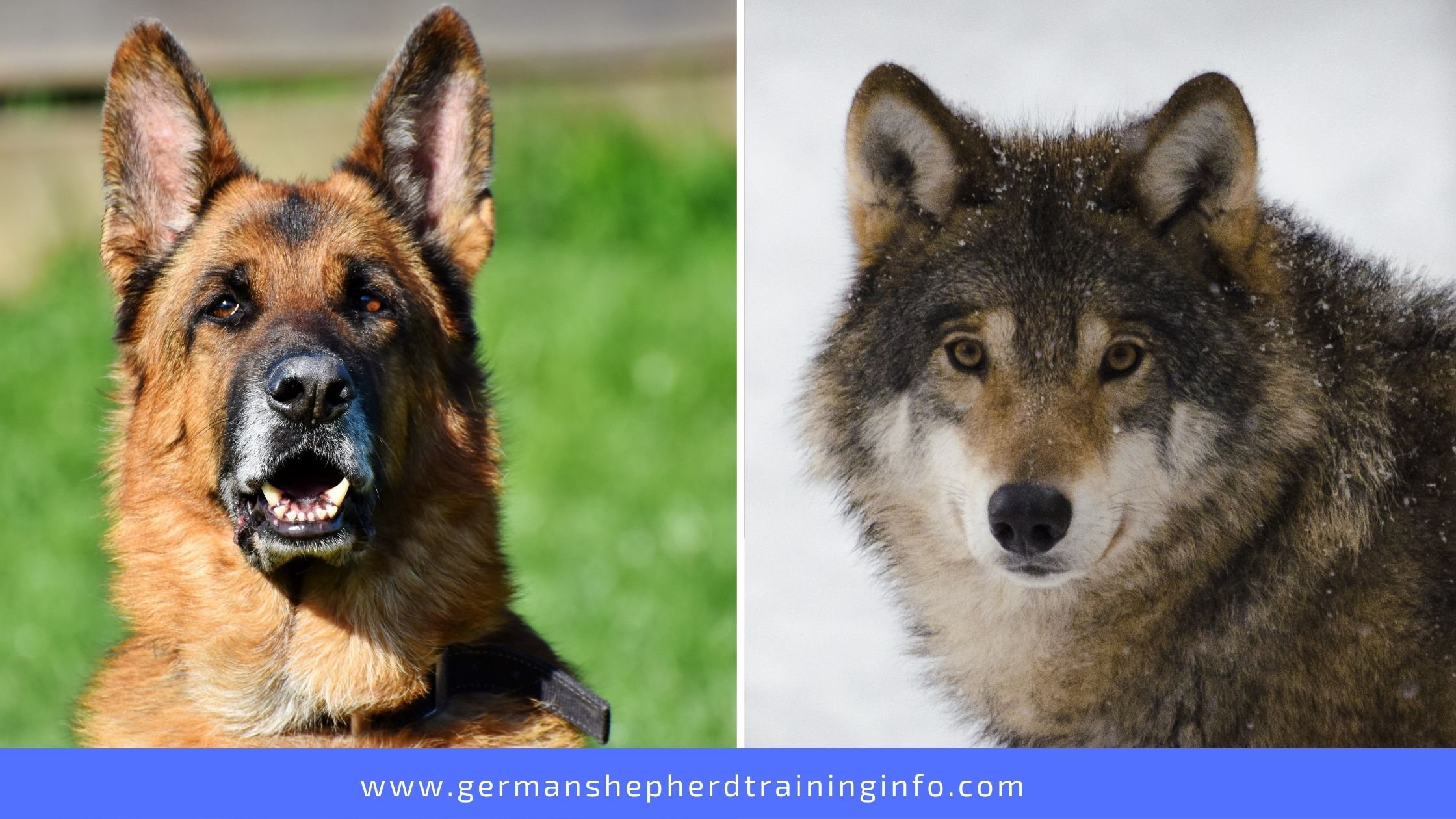 German Shepherd vs Wolf: The differences between the dog in domesticity and the wolf in the wilderness