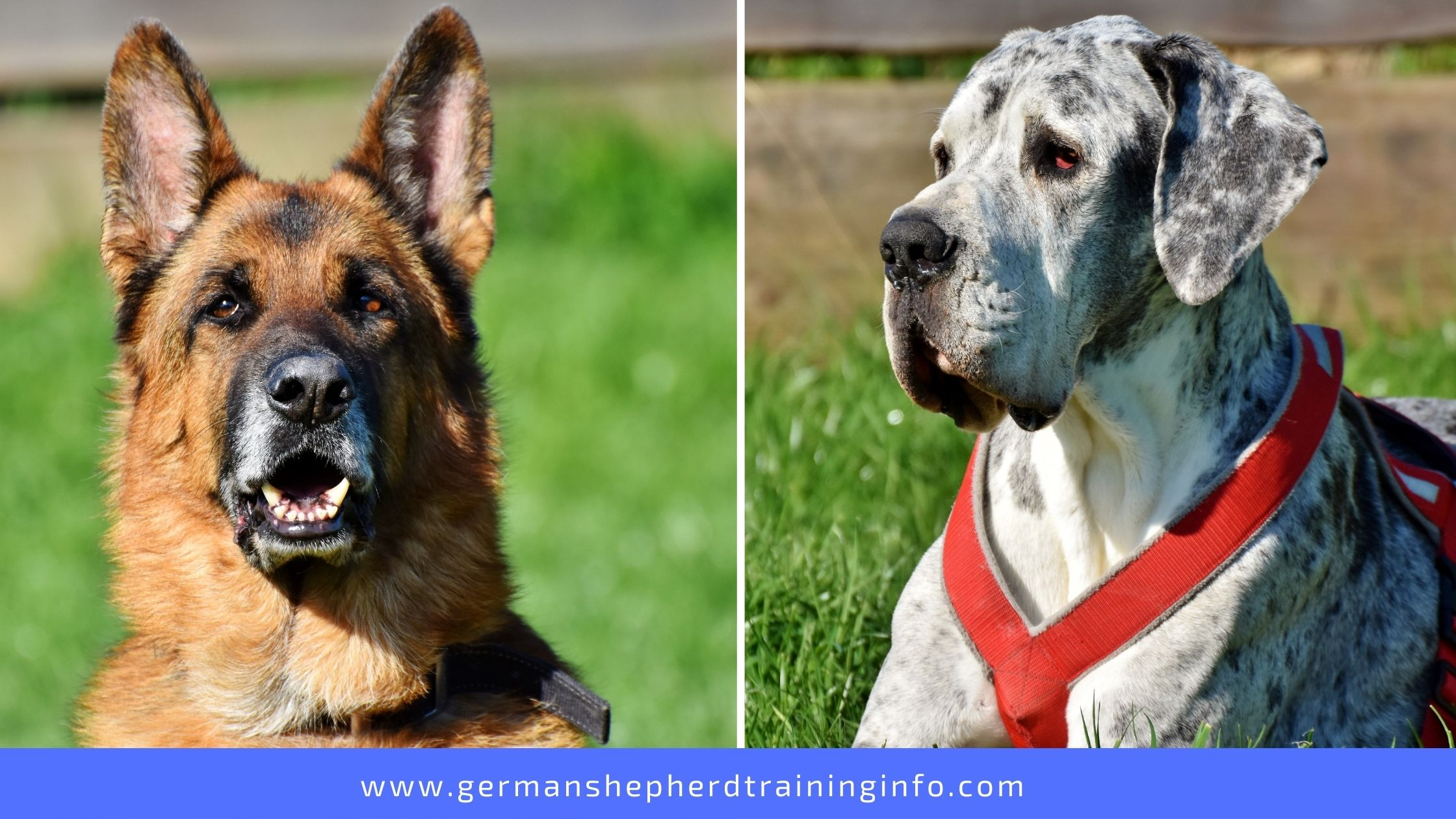 German shepherd vs. Great Dane: Size, Coat, Energy and Health Comparison