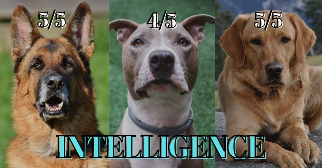 German shepherd vs Pitbull vs Labrador - intelligence