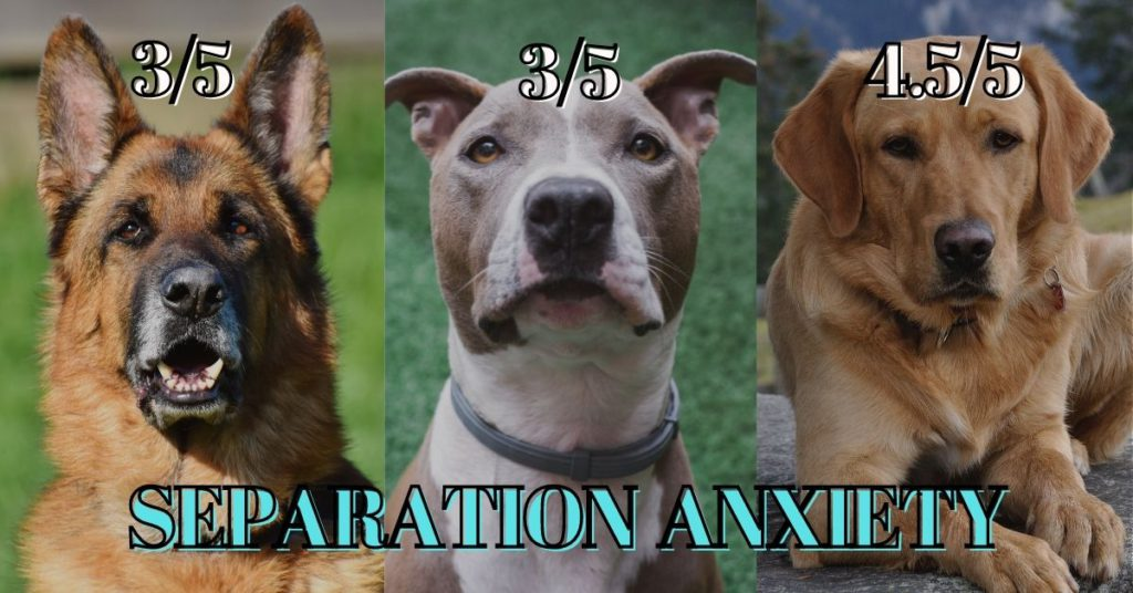 German shepherd vs Pitbull vs Labrador- Separation anxiety