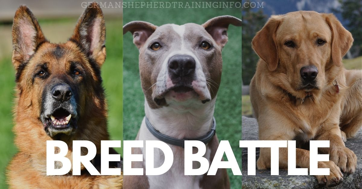 German shepherd vs Pitbull vs Labrador: Which breed is the best?