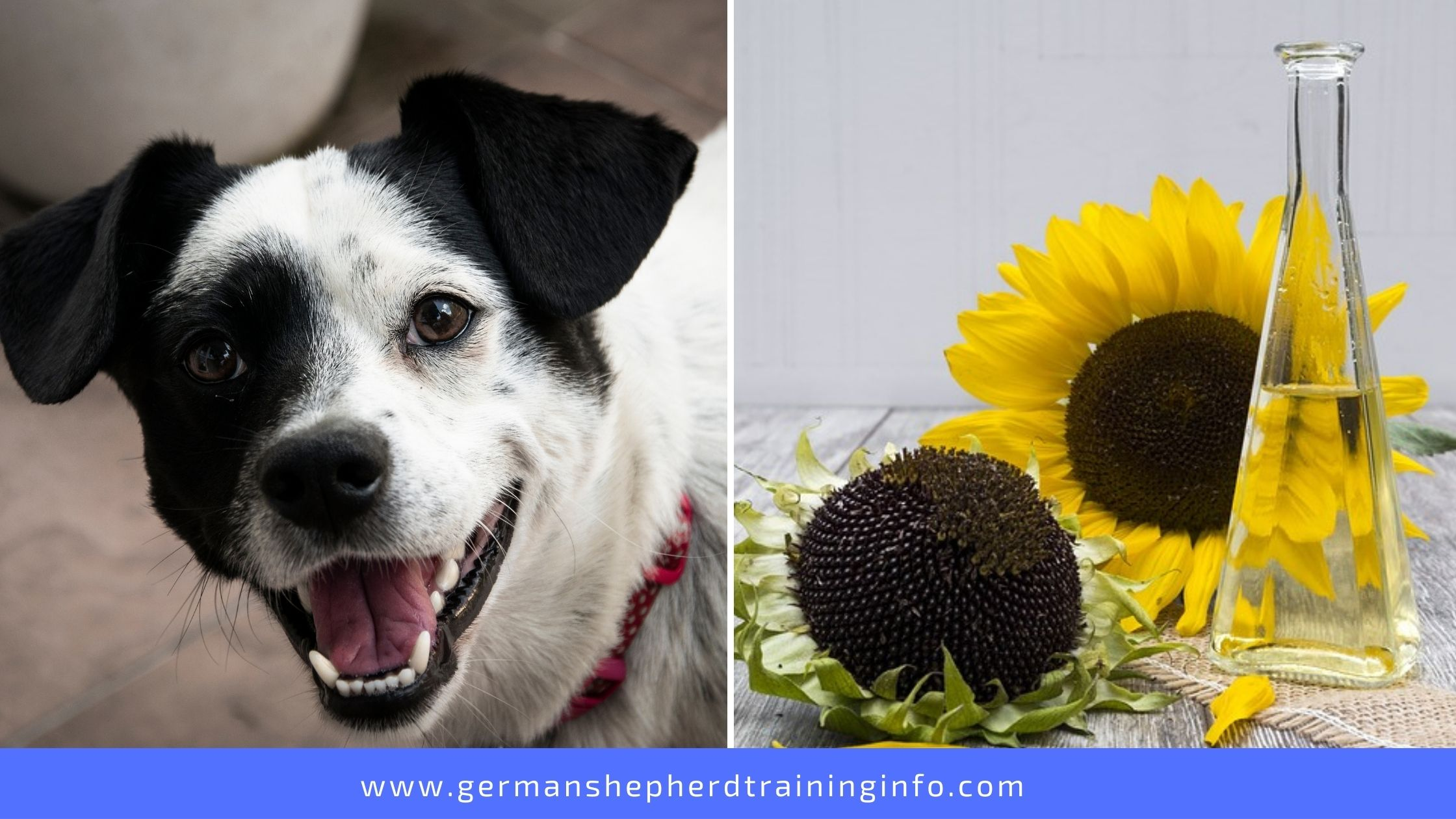 Can Dogs Eat Sunflower Butter and Oil