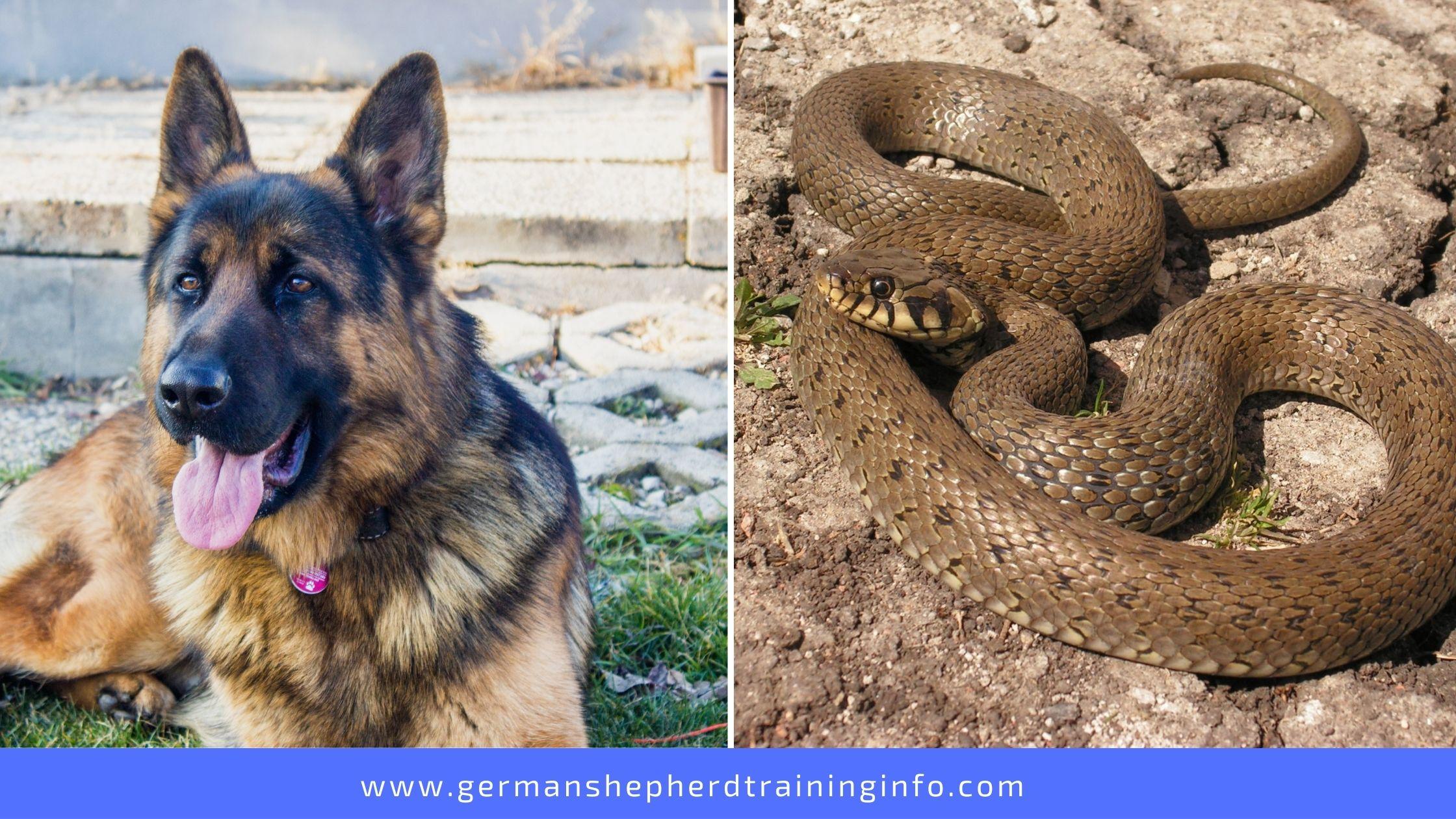 Can German Shepherds Kill Snakes?