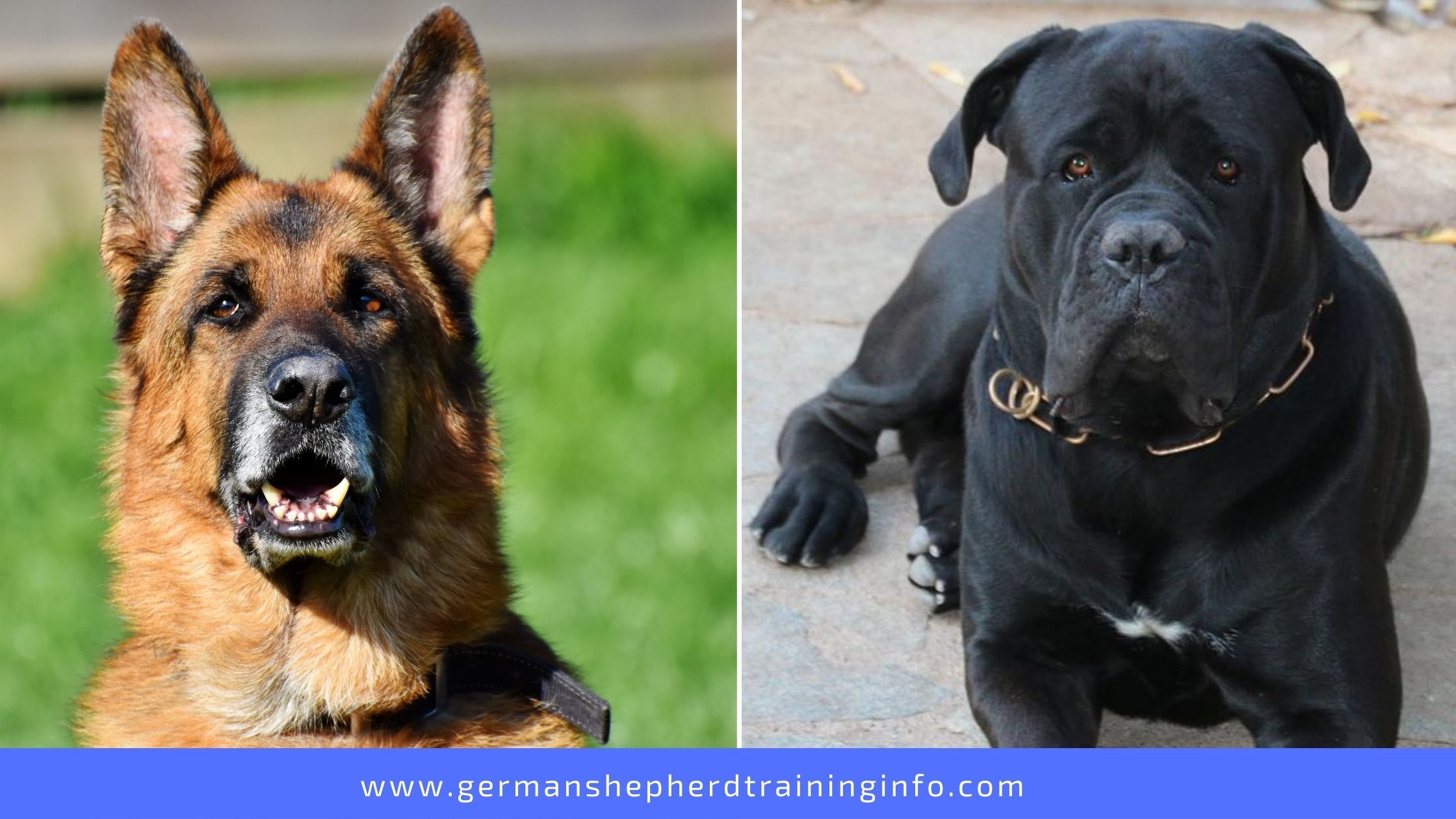 German Shepherd vs Cane Corso: Size, Coat, Energy, Health, Food, Nutrition, Life Span, Height and Weight Comparison