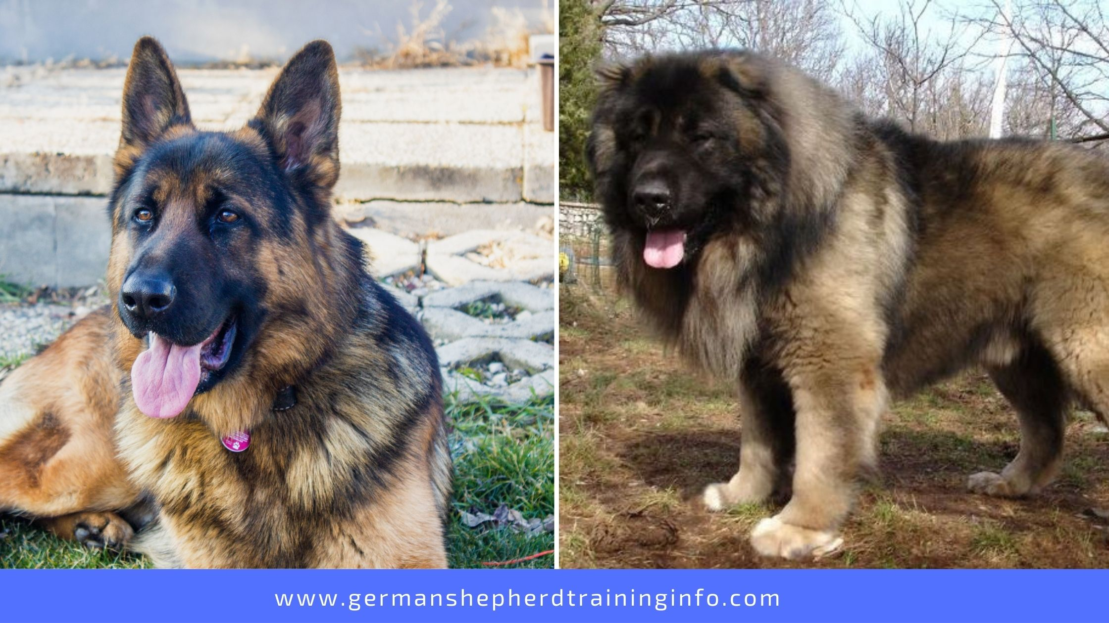 German Shepherd vs Caucasian Shepherd: Size, Appearance, COat, Energy, Temperament, Socialability Comparison Guide