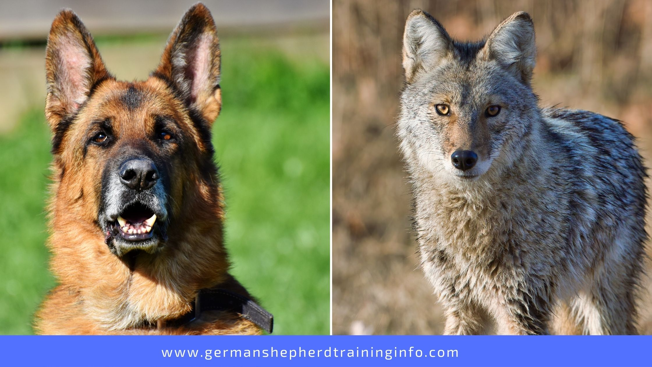 German Shepherd vs Coyote: Physical Attributes, Nutrition and Temperament Comparison
