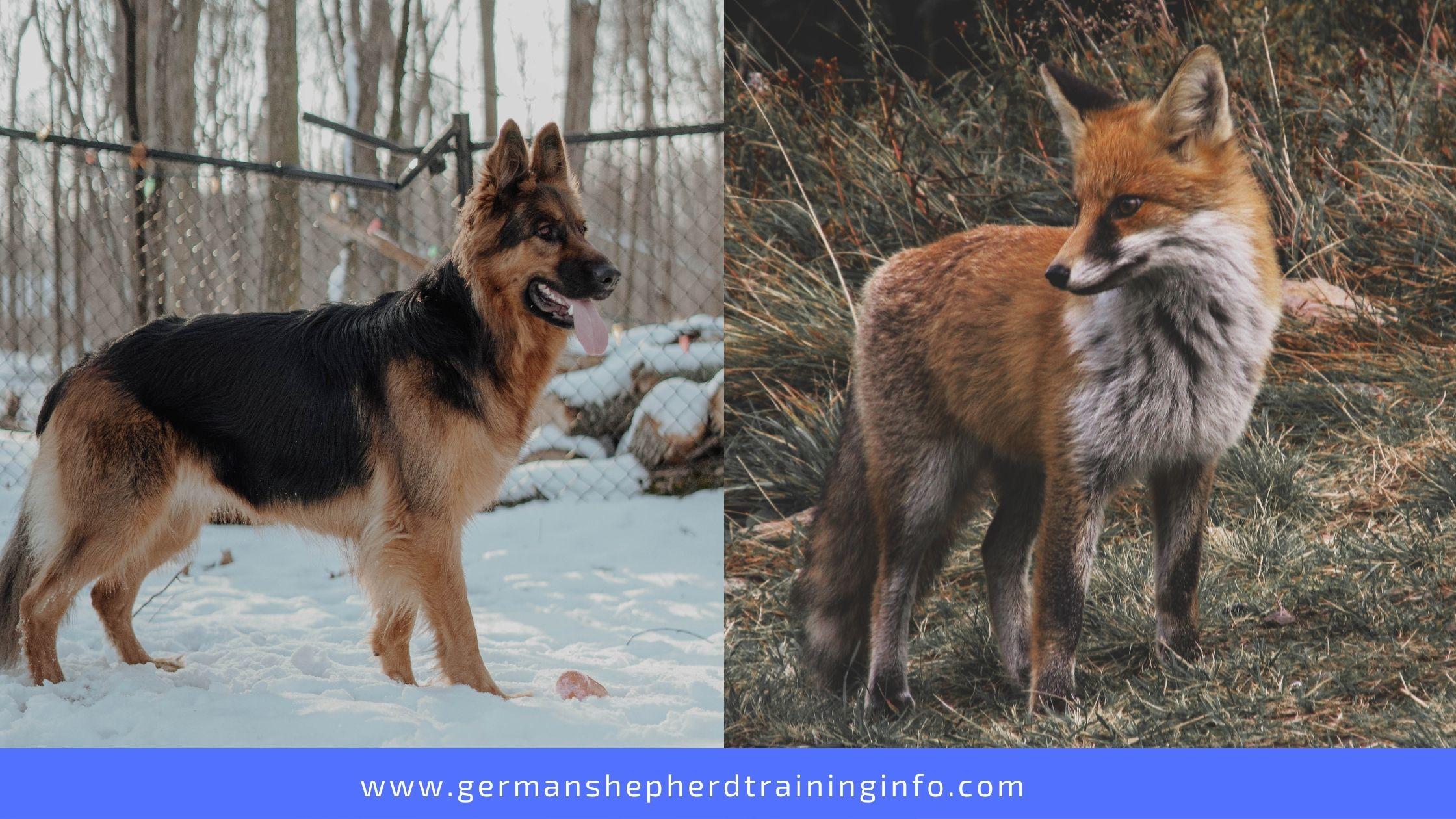 Can German Shepherds Kill A Fox?