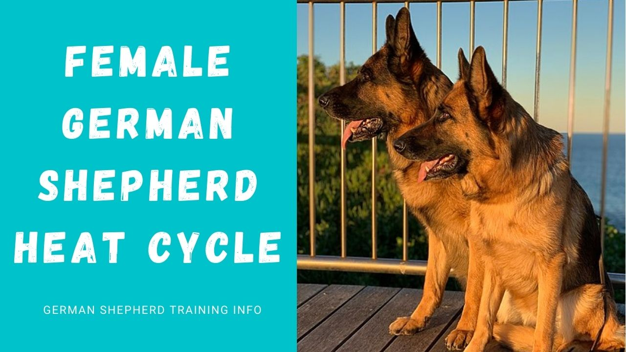 How Long Do Female German Shepherds Stay In Heat?