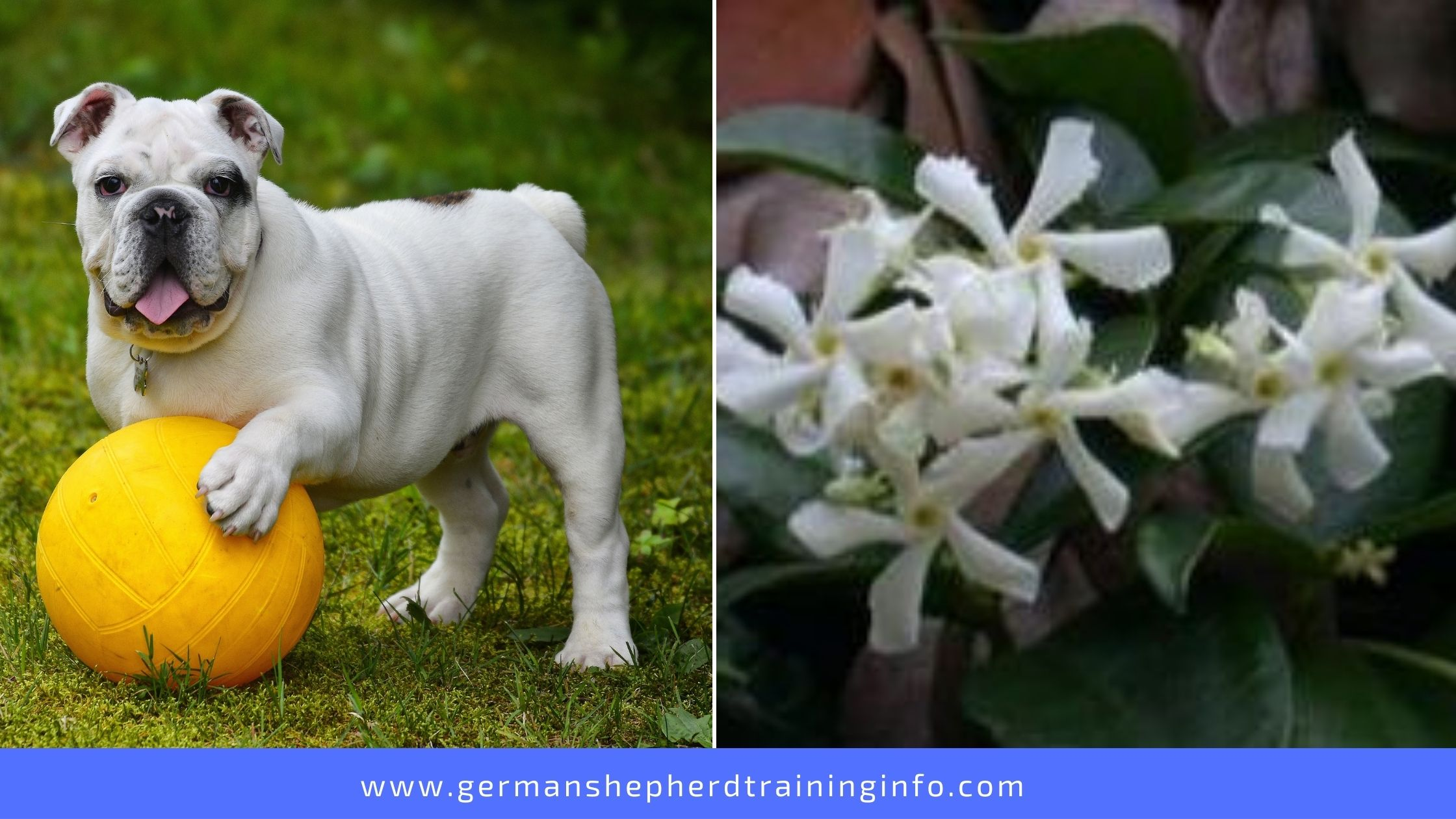 Is Star Jasmine Poisonous To Dogs?